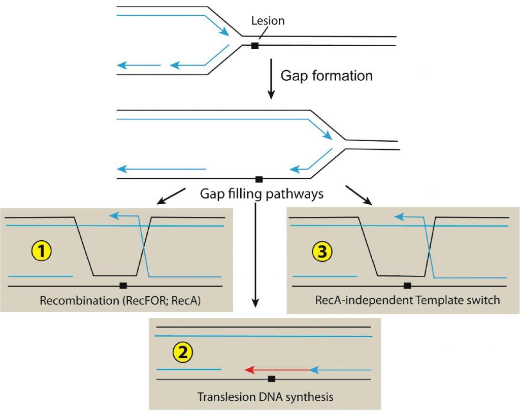 DNA repair image
