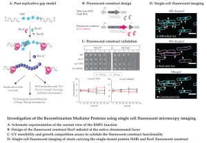 Image for Investigation of the Recombination Mediator Proteins using single cell fluorescent microscopy imaging