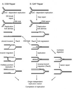 Fork repair pathways